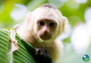 Cahuita National Park Monkey