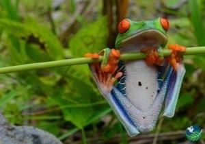Cahuita National Park Frog