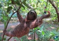 Caribbean-Sloth