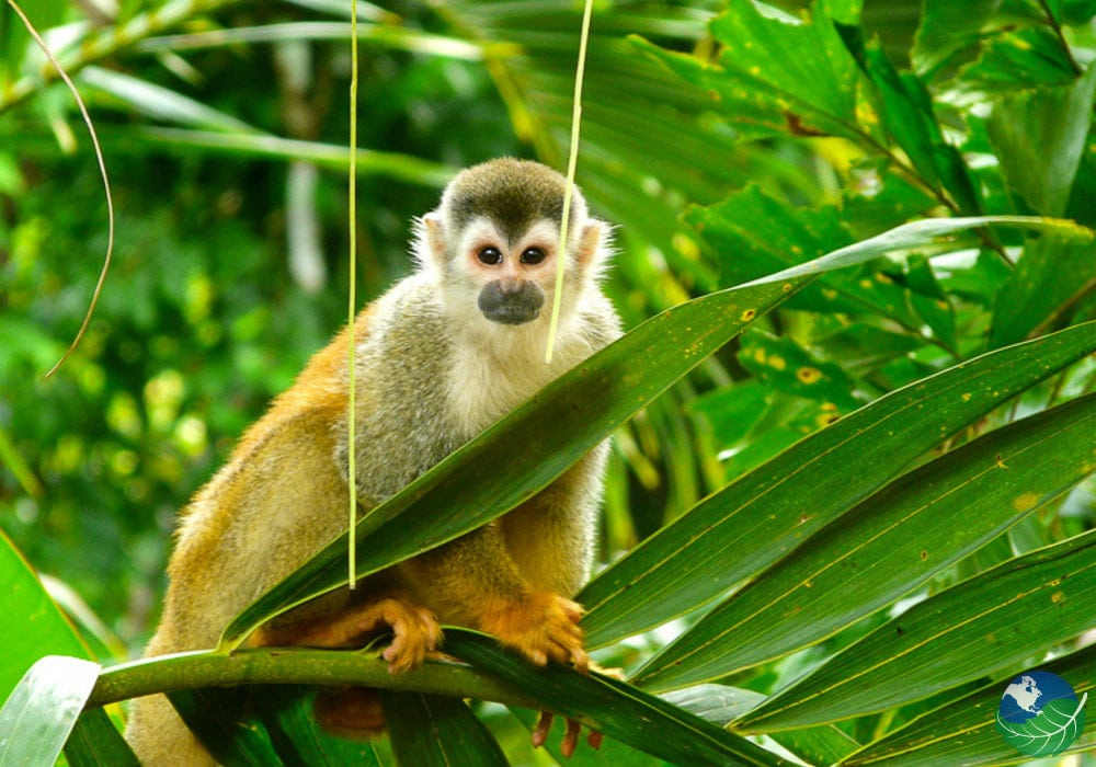 Central-Pacific-Monkey