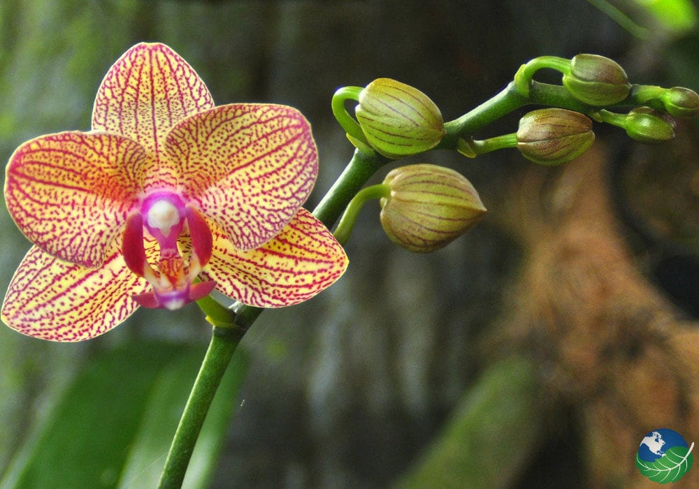 Central-Valley-Orchid