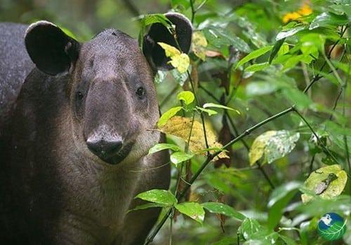 Drake Bay Tapir