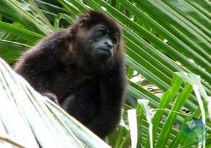 Gandoca Manzanillo Monkey