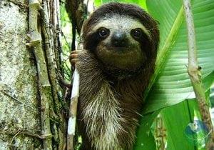 Gandoca Manzanillo Sloth