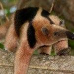 Guanacaste-Anteater