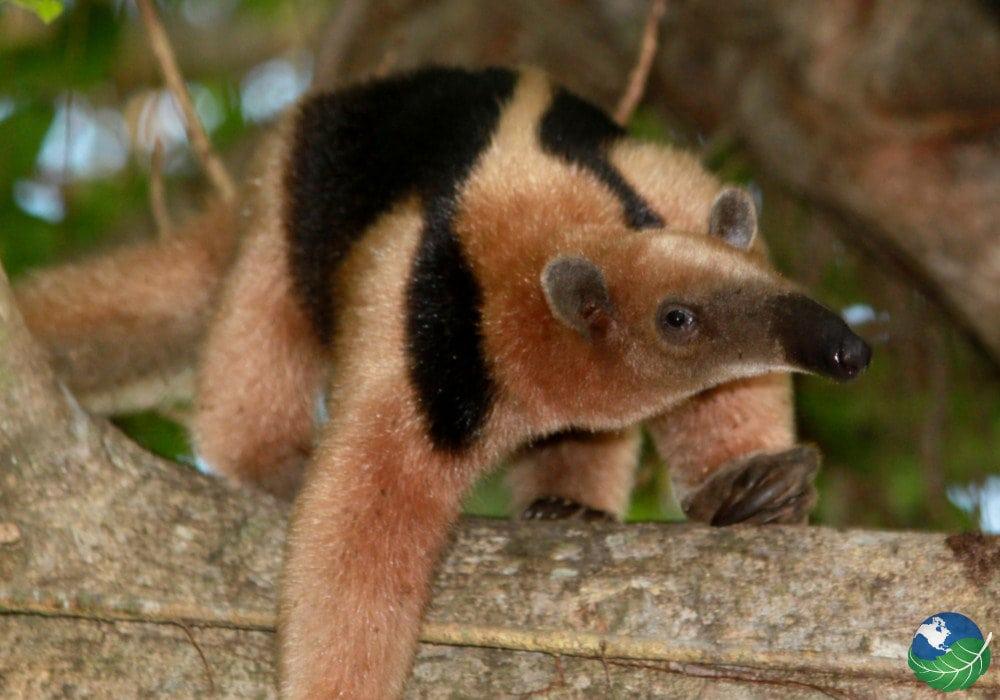 Anteater Costa Rica