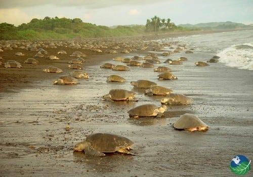 Tortuguero Turtles Nesting