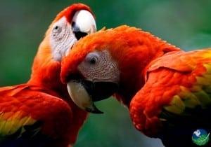 Manuel-Antonio-Macaws