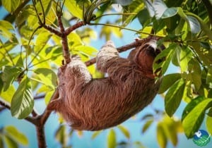 Manuel-Antonio-Sloth