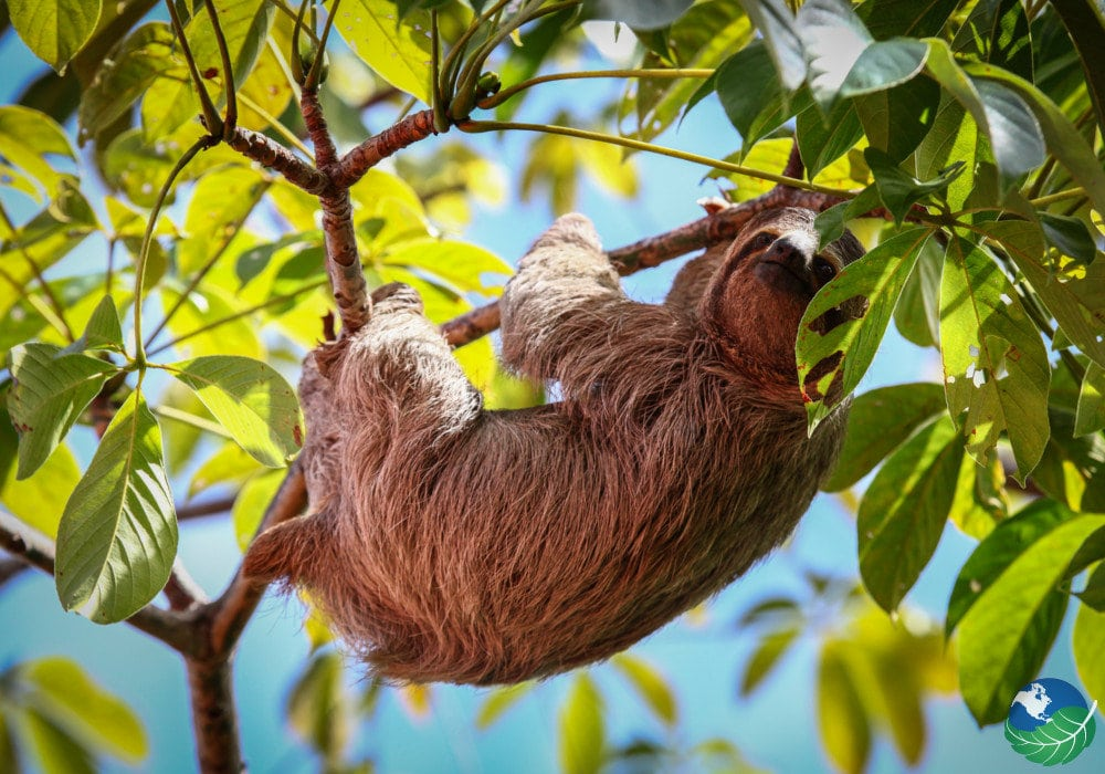 Manuel Antonio Costa Rica sloth