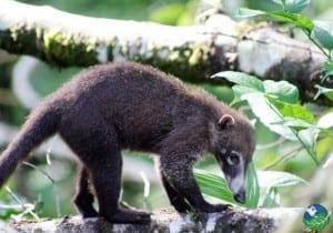 Monteverde-Coati