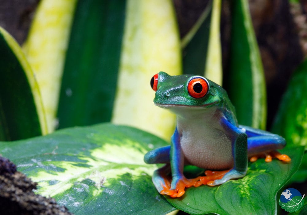 Osa-Peninsula-Frog