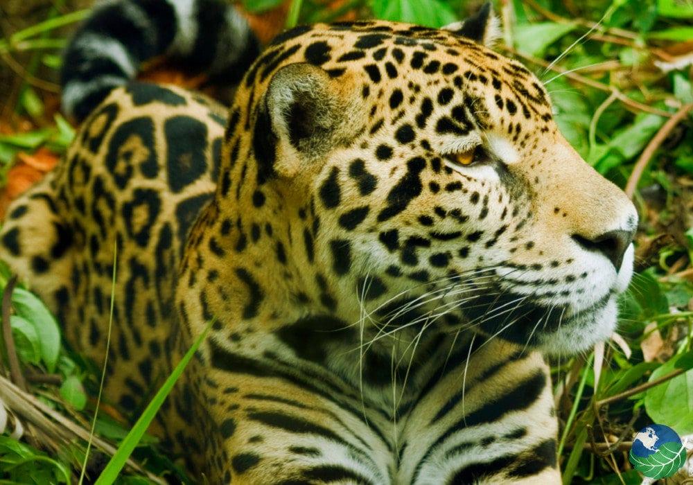 Osa-Peninsula-Jaguar
