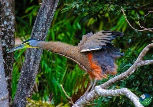 Palo Verde Costa Rica Tiger Heron