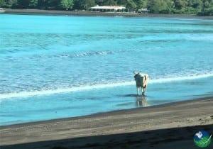 Playa-Potrero-Cow