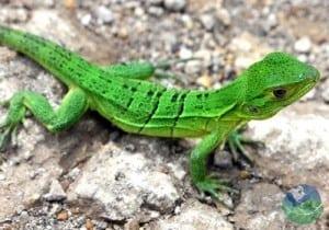 Santa Rosa Lizard