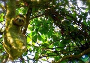 The Gandoca Manzanillo Wildlife Refuge Sloth