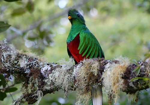 Trogon Lodge Quetzal