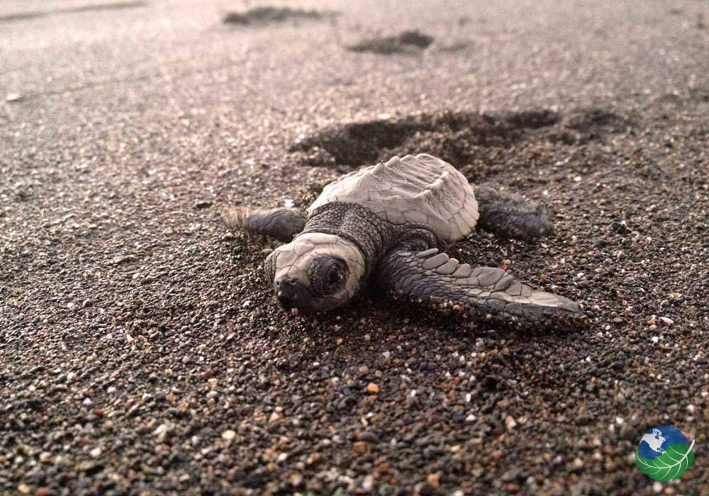 Baby Turtle in Ostional