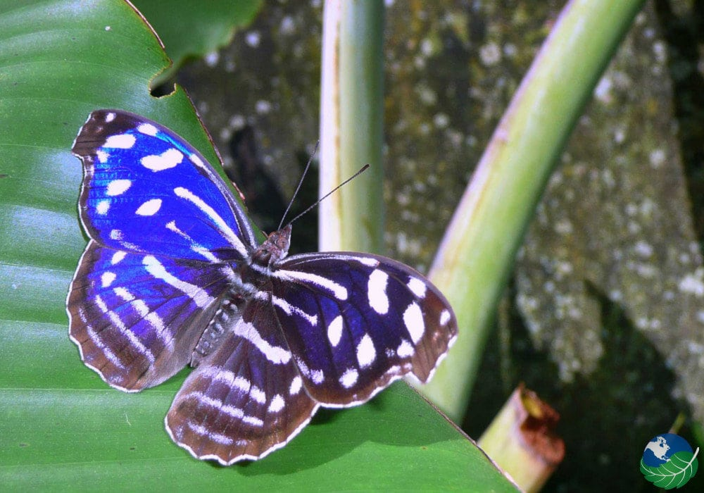 6bed76cf5 Costa Rica Butterflies, Moths, and the Blue Morpho Butterfly