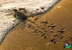 Ostional Beach Little Turtle