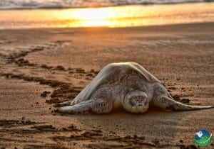 Ostional Beach Sunset and Turtle
