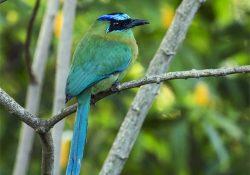 Birds Of Costa Rica MotMot