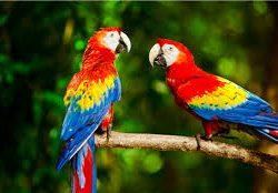 Birds of Costa Rica Scarlet Macaws