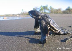 Costa Rica animals Baby Turtles