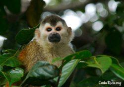 Costa Rica animals American Squirrel Monkey