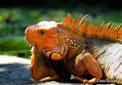 Costa Rica Animals Iguana