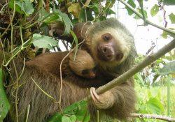 Costa Rica Animals Sloths
