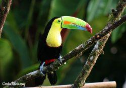 Costa Rica Animals Toucan