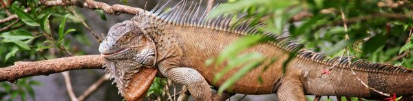 iguana cano negro