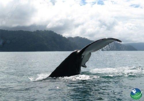 Golfito Costa Rica Whale tale