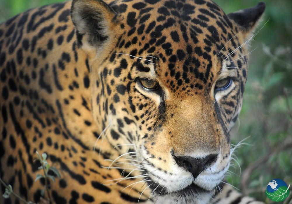 jaguar rescue center chocolate lady secret jungle waterfall. Black Bedroom Furniture Sets. Home Design Ideas