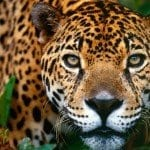 Jaguar of Costa Rica