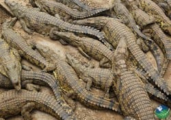 Tarcoles River Crocodiles