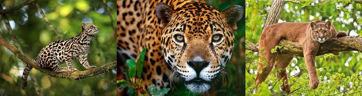 The Costa Rica Jaguar and other Wild Cats of the Rich Coast