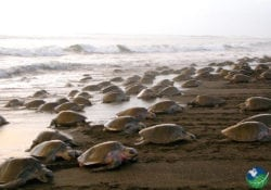 Ostional Beach Turtles