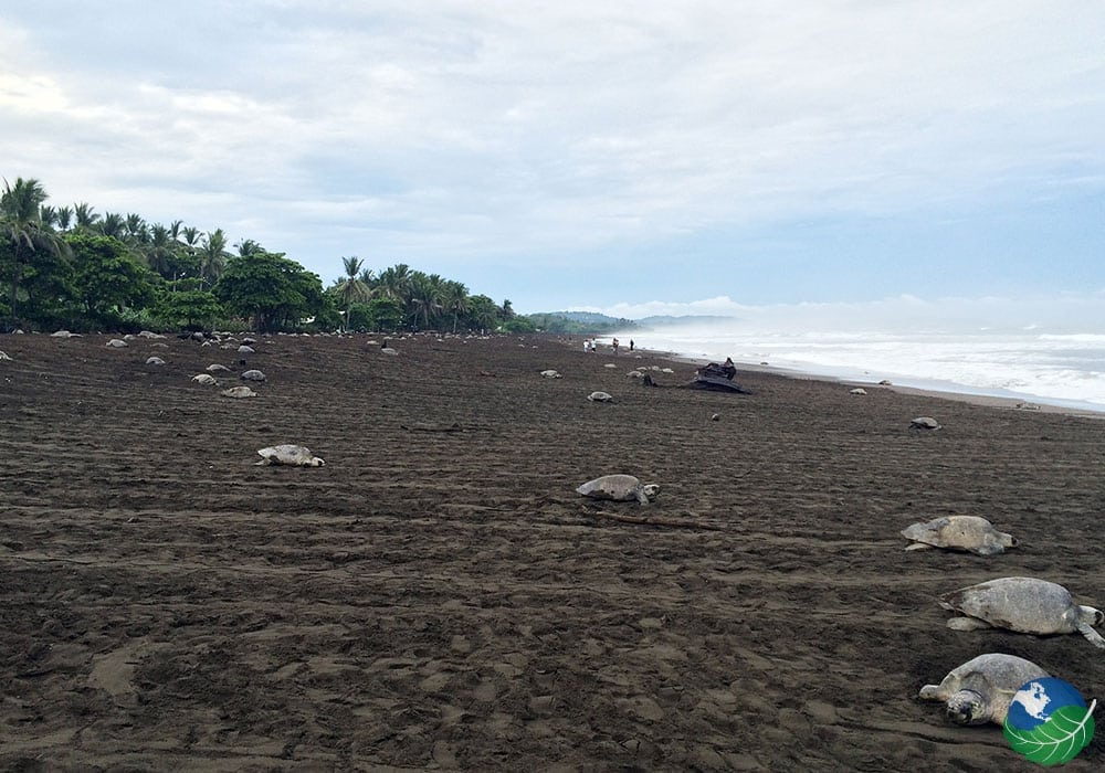 Turtles at Ostional Beach