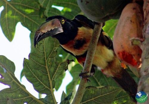 Aracari Toucan Tortuguero